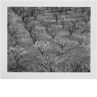 orchard, early spring near stanford university, california [circa 1940] by ansel adams